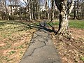 2018-04-11 16 14 19 An asphalt walking path buckled and cracked due to the roots of a Red Maple in the Franklin Glen section of Chantilly, Fairfax County, Virginia.jpg