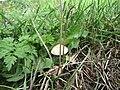 2018-08-19 Toadstool, Paston way footpath, Gimingham (2).JPG
