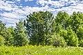 2 кедра на месте бывшей деревни Селезни 02.jpg