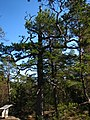 370 year old Pinus sylvestris in Tyresta National Park.jpeg
