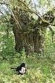 4 Stara wierzba - Lasmiady - 880cm.jpg