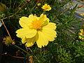 7380jfYellow flower Philippines Pandacaquifvf 10.JPG
