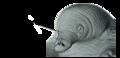 AC1. Monotreme beak (MO01a).png