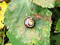 A White-lipped Snail (Cepaea hortensis) on a leaf (5105419109).jpg