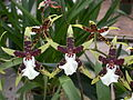 A and B Larsen orchids - Brassidium Wild Warrior Chieftain DSCN4441.JPG