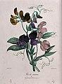 A bunch of sweet peas (Lathyrus odoratus). Coloured lithogra Wellcome V0044578.jpg