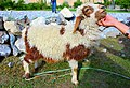A happy sheep of Hunza valley.jpg
