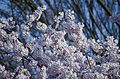 A pouffle of white cherry blossoms - FDR Memorial - Washington DC - 2013-04-09 (8637666567).jpg