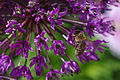 Abeille sur une fleur violette.jpg
