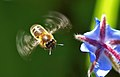 Abeja libando una borraja 06 - bee sucking a borage flower - abella libant una borraina (2358645893).jpg