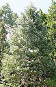 Abies Alba Wikipedia