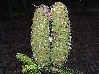 Abies alba - Immature cone of Abies alba