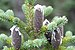 Balsam Fir - Photo (c) Cephas, some rights reserved (CC BY-SA)
