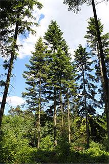 <i>Abies grandis</i> species of plant