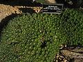 Abromeitiella Brevifolia.JPG