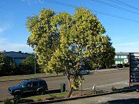 Acacia concurrens 1