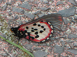 Acara Acraea, South Africa 2.jpg
