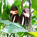 Acasalamento de borboleta.jpg
