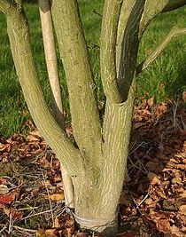 Red snakeskin maple, trunk