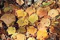 Acer rufinerve fallen leaves.jpg