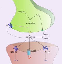 Acetylcholine processing in a synapse after release acetylcholine is