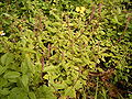 Achyranthes aspera (Puntallana) 02 ies.jpg