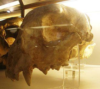 Acinonychini - Cranium of the giant cheetah Acinonyx pardinensis or Sivapanthera pardinensis