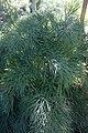 Aciphylla dieffenbachii plant.jpg