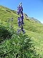 Aconitum napellus plant (11).jpg