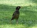 Acridotheres tristis in the grounds of the Le Royal Méridien Beach Resort and Spa in Dubai 3.jpg