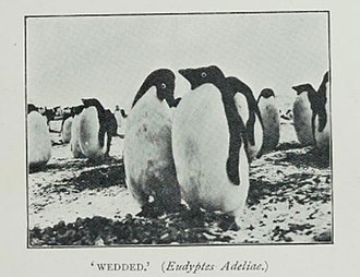 Carsten Borchgrevink - Adélie penguins Cape Adare ca 1899.