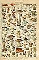 Adolphe Millot champignons-pour tous.jpg