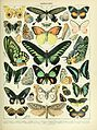 Adolphe Millot papillons B.jpg