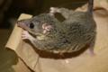 Adult Monodelphis domestica.png