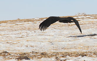 Cinereous vulture - Flying over snowy hillsides of Mongolia