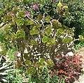 Aeonium arboreum (4).jpg
