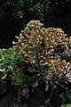Aeonium davidbramwellii habitus.jpg