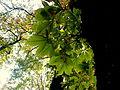 Aesculus hippocastanum (11).JPG