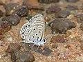 African Babul Blue Azanus jesous (4085376845).jpg