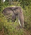 African Elephant, Uganda (16256686267).jpg