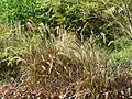 African Fountain Grass (3052140795).jpg