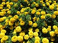 African Marigolds (28182940164).jpg