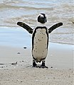 African Penguin (Spheniscus demersus) (32780193212).jpg