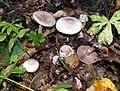 Agaricus dulcidulus 001.jpg