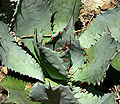 Agave shrevei ssp shrevei 2.jpg
