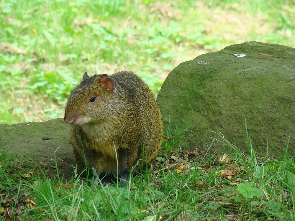 The average adult weight of a Azara's agouti is 2.98 kg (6.57 lbs)