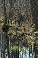 Alder carr 05(js), Biebrza National Park (Poland).jpg