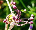 Allium carinatum ENBLA06.jpg