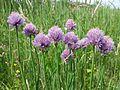 Allium schoenoprasum var. alpinum sl14.jpg