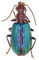 Allocota viridipennis - ZooKeys-284-001-g003-14.jpeg